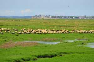 mouton-pre-sale-picardie