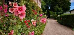 Allée de roses trémières au camping La Baie de Somme au Crotoy