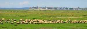 Vue du port du crotoy et des moutons de prés salés en baie de somme