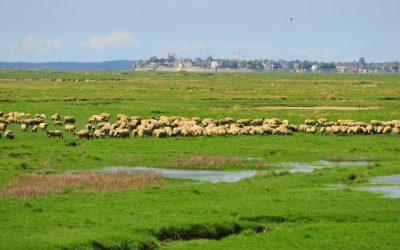 Moutons de pré salé en Baie de Somme