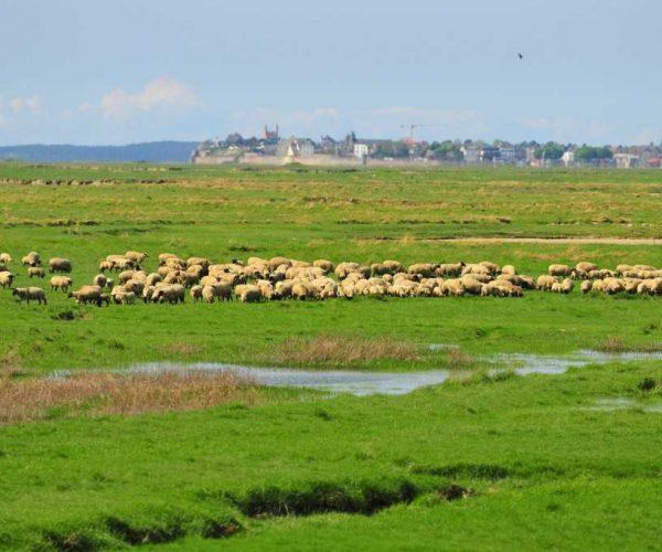 Moutons de prés salés près du Crotoy en baie de somme