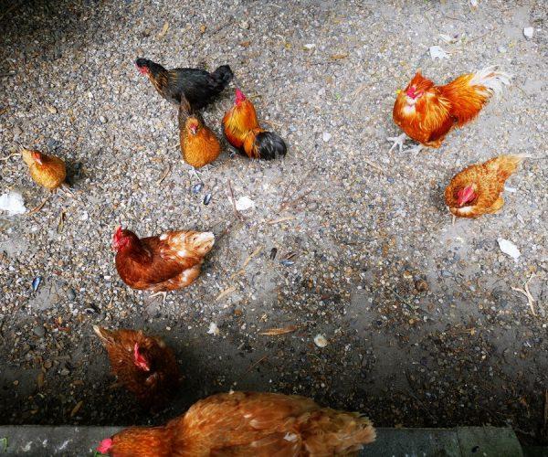 Poules au camping La Baie de Somme au Crotoy
